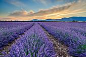Blooming lavender field, Valensole, Verdon Nature Park, Alpes-de-Haute-Provence, Provence-Alpes-Cote d'Azur, France