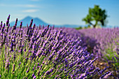 Blooming lavender field with tree out of focus in the background, Valensole, Verdon Nature Park, Alpes-de-Haute-Provence, Provence-Alpes-Cote d´Azur, France