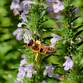 Honey bee in action, Bad Honnef / Rhein, Germany