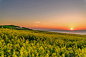 Rapeseed field with sunset on the Baltic Sea, Dazendorf, Ostholstein, Schleswig-Holstein, Germany