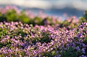 Purple flowers with bokeh; Dazendorf; Baltic Sea; East Holstein; Schleswig-Holstein; Germany