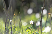 Spring awakening in the forest, wood anemone, Ostholstein, Schleswig-Holstein, Germany