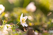 Wood anemone with bokeh in the forest, Ostholstein, Schleswig-Holstein, Germany