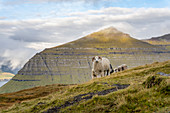 Sheep in the green pastures on the slopes of Klakkur near Klaksvík, Faroe Islands.