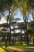Pine trees in the Villa Doria Pamphilj parc, Rome, Italy, Italy