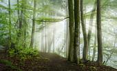 Morgensonne im Buchenwald, Wald bei Baierbrunn, Bayern, Deutschland