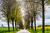 Avenue with winter linden trees in Ostholstein, Bürau, Neukirchen, Schleswig-Holstein, Germany