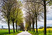 Allee mit Winterlinden in Ostholstein, Bürau, Neukirchen,  Schleswig-Holstein, Deutschland
