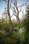Moor Landschaft mit abgestorbenen Bäumen, Fischland-Darß-Zingst, Nationalpark Vorpommersche Boddenlandschaft, Mecklenburg-Vorpommern, Ostsee, Deutschland, Europa