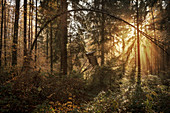 Crumbled high seat (Jägerstand) in the autumn forest near Waiblingen, Baden-Wuerttemberg, Germany, Europe