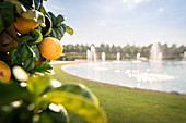 "Ripe oranges in the palace garden ""Blooming Baroque"", Ludwigsburg Palace, Stuttgart metropolitan region, Baden-Wuerttemberg, Germany, Europe"