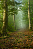 Morning mood in the spring beech forest, Bavaria, Germany