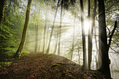 Sun rays in the morning beech forest, Bavaria, Germany