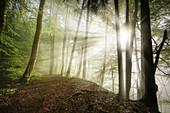 Sonnenstrahlen im morgendlichen Buchenwald, Wald in Bayern, Deutschland