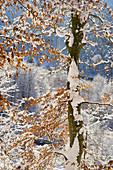 Rotbuche am Isarhochufer im Winterkleid, Wald bei Baierbrunn, Bayern, Deutschland