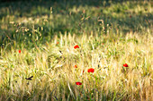 Poppies in the cornfield in Calvados, Normandy
