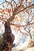 Autumn tree in Pinnacles National Park, California, USA.