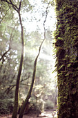 Mossy tree trunk and sun rays in morning forest, Big Basin State Park, California, USA.