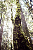 Moosiger Baumstamm und Sonnenstrahlen im morgendlichen Wald, Big Basin State Park, Kalifornien, USA