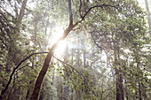Sunbeams in the morning forest, Big Basin State Park, California, USA.