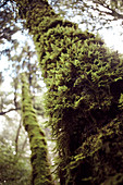Mossy tree trunk, Big Basin State Park, California, USA.