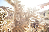 Cactus with child's hand in backlight in Joshua Tree Park, California, USA.