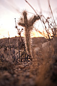 Kleiner Kaktus bei Sonnenaufgang im Joshua Tree Park, Kalifornien, USA