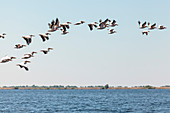 Danube Delta: A flock of pelicans over Lacul Babina, Mila 23, Tulcea, Romania.