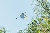 Danube Delta, a great egret (Ardea alba) lands in a pasture at Lacul Merhei, Mila 23, Tulcea, Romania.