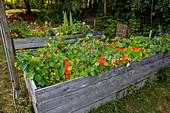 Brunnenkresse in einem Hochbeet, Selbstgemachtes mit Kräutern aus dem eigenen Garten