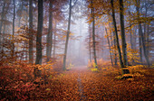 European beech forest in November, Baierbrunn, Bavaria, Germany