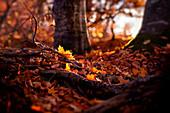 Herbstllaub im warmen Abendlicht, Wald bei Schäftlarn, Bayern, Deutschland