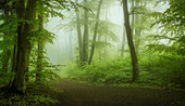 Fog in the beech forest in springtime, Baierbrunn, Bavaria, Germany