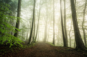 Fog and sunlight in the forest in springtime, Baierbrunn, Bavaria, Germany