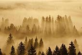 Wald im Isartal im Morgennebel, Wald bei Icking, Bayern, Deutschland
