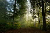 Early autumn in the beech forest, Baierbrunn, Bavaria, Germany