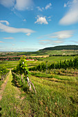 The Iphöfer vineyards in the late afternoon, Kitzingen, Lower Franconia, Franconia, Bavaria, Germany, Europe