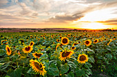 Sunflower field at Bullenheim at sunset, Neustadt an der Aisch, Middle Franconia, Franconia, Bavaria, Germany, Europe