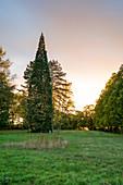 Mammutbaum am Schwanberg, Rödelsee, Kitzingen, Unterfranken, Franken, Bayern, Deutschland, Europa