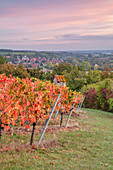 Vineyards near Sulzfeld in autumnal dress, Kitzingen, Lower Franconia, Franconia, Bavaria, Germany, Europe