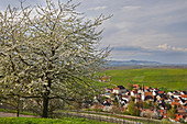View of Ehaben with cherry blossom and vineyards, Breisgau, Baden-Wuerttemberg, Germany, Europe