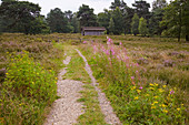 Behringer Heide near Bispingen, south of the Lueneburg Heath, Lower Saxony, Germany, Europe