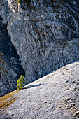 View of a small fir tree in front of a rock face in the Karwendel in autumn, Ahornboden, Hinterriß, Tyrol, Austria, Europe