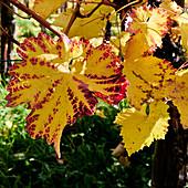 Autumn vineyard on the Middle Rhine, Unkel, Germany