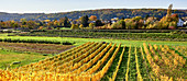 Autumn vineyard on the Middle Rhine, Unkel, Germany