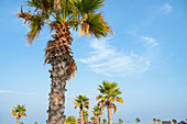 Palm trees against a bright blue sky with clouds, beach in summer, Forte dei Marmi, Tuscany, Italy