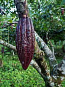Cocoa tree with fruit, Theobroma cacao, tropics, Brazil