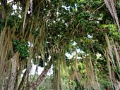 Rainforest tree with bromeliads and tillandsias, Tillandsia usneoides, Mata Atlantica, Bahia, Brazil, South America