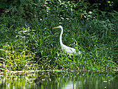 Great Egret, Casmerodius albus, coastal rainforest, Mata Atlantica, Bahia, Brazil, South America