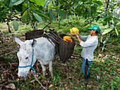 Organic cocoa harvest on the Almada Farm, coastal rainforest, Mata Atlantica, Bahia, Brazil, South America